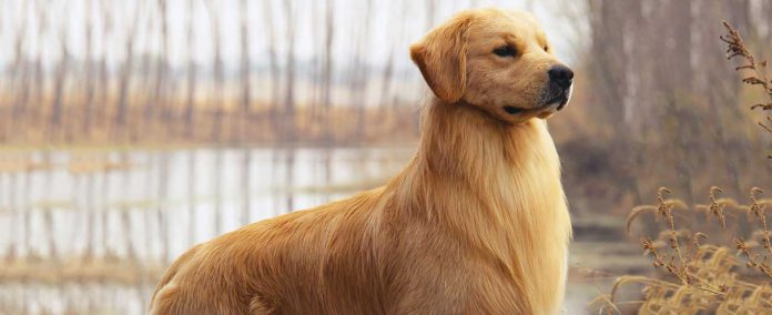What Is The Best Family Dog – Golden Retrievers